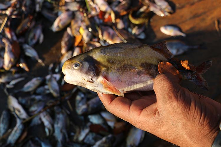 Parrot Fish 30